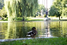 The pond in Boston Public Garden is home to several of these guys